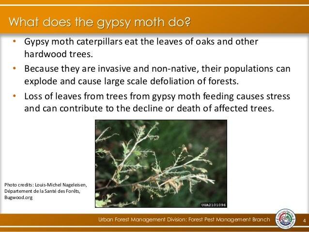 Community Gypsy Moth Management