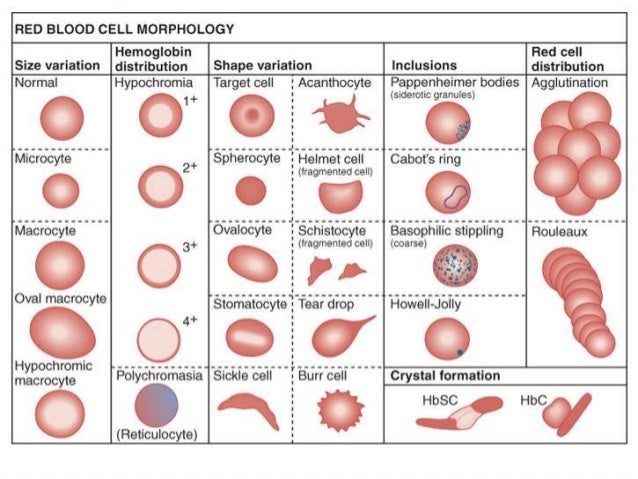 thesis on red blood cell pathology