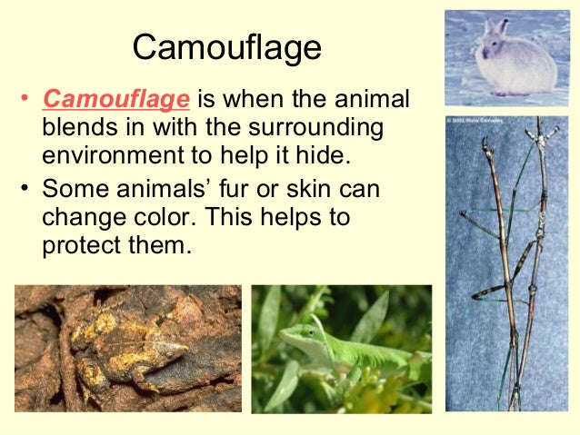 Camouflage • Camouflage is when the animal blends in with the surrounding environment to help it hide. • Some animals' fur...