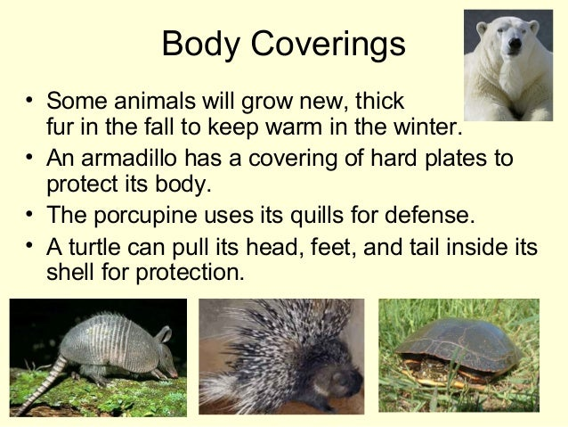 Body Coverings • Some animals will grow new, thick fur in the fall to keep warm in the winter. • An armadillo has a coveri...