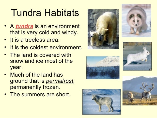 Tundra Habitats • A tundra is an environment that is very cold and windy. • It is a treeless area. • It is the coldest env...