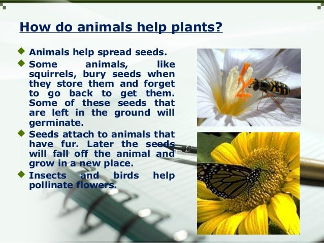 How do animals help plants?  Animals help spread seeds.  Some animals, like squirrels, bury seeds when they store them a...