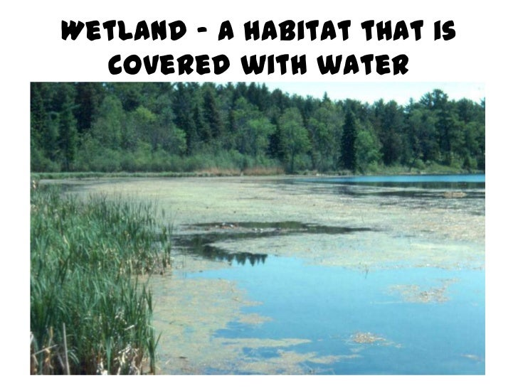 Wetland – a habitat that is  covered with water