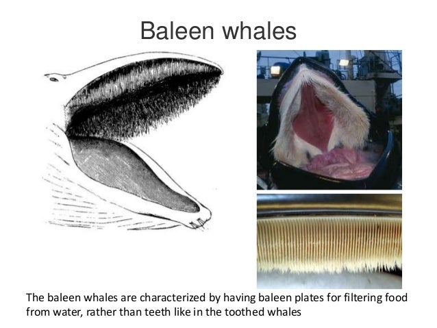 from baleen to cleft palate an ontological exploration of evolution