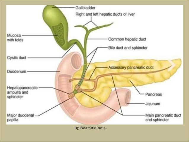 Gall bladder pancreas pancreatic ducts ccuart Image collections