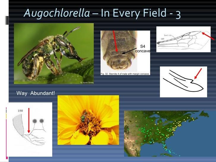 Augochlorella  – In Every Field - 3 Way  Abundant!