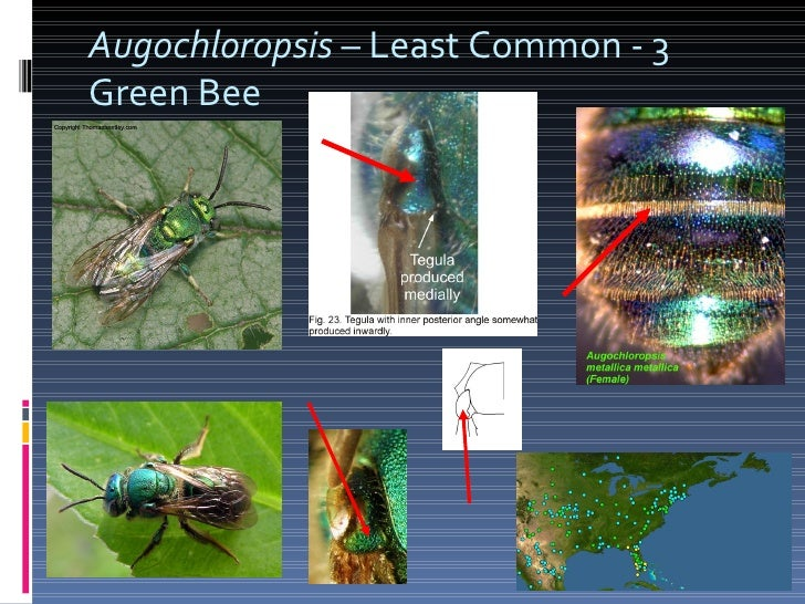Augochloropsis  – Least Common - 3 Green Bee