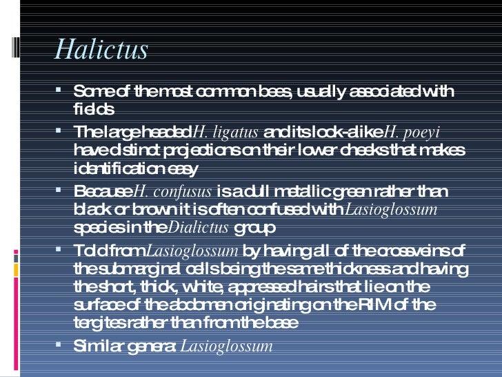 Halictus <ul><li>Some of the most common bees, usually associated with fields </li></ul><ul><li>The large headed  H. ligat...
