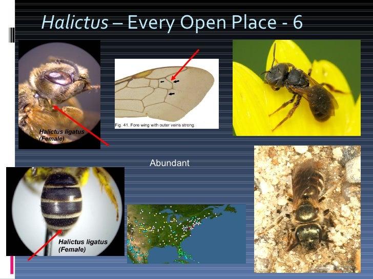 Halictus  – Every Open Place - 6 Abundant