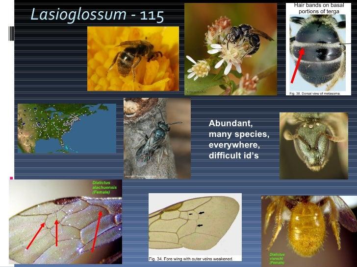 Lasioglossum -  115 Abundant, many species, everywhere, difficult id's