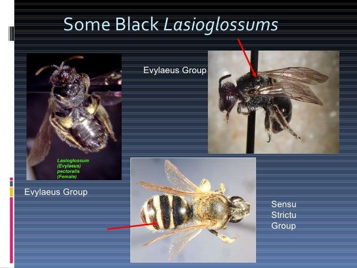 Some Black  Lasioglossums Sensu Strictu Group Evylaeus Group Evylaeus Group