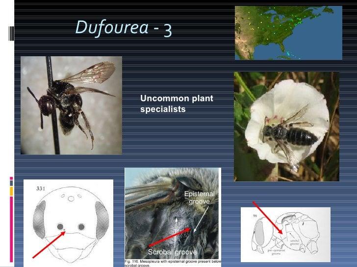 Dufourea  - 3 Uncommon plant specialists