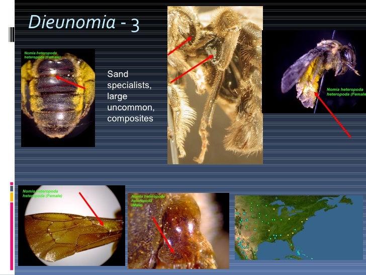 Dieunomia  - 3 Sand specialists, large uncommon, composites