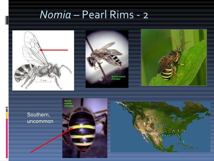 Nomia  – Pearl Rims - 2 Southern, uncommon