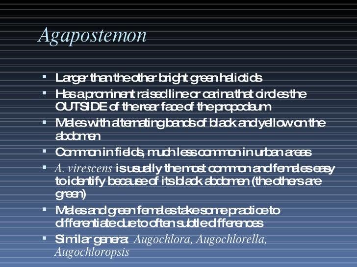 Agapostemon <ul><li>Larger than the other bright green halictids </li></ul><ul><li>Has a prominent raised line or carina t...