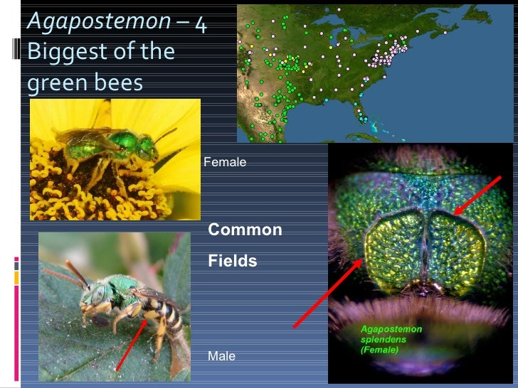 Agapostemon  – 4  Biggest of the  green bees Common Fields Male Female