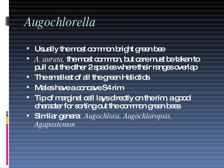 Augochlorella <ul><li>Usually the most common bright green bee </li></ul><ul><li>A. aurata,  the most common, but care mus...