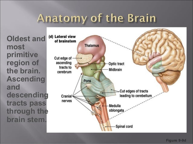 reticular formation and limbic system