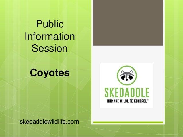 Public Information Session Coyotes skedaddlewildlife.com