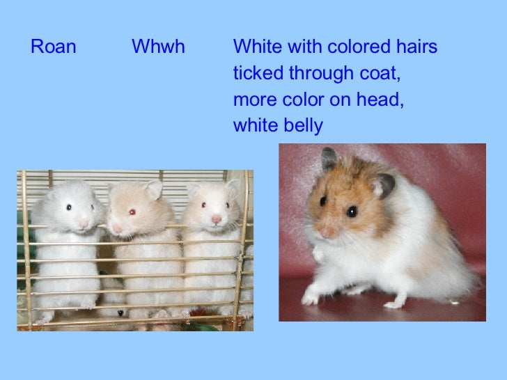 Long Haired Hamster Colors 37
