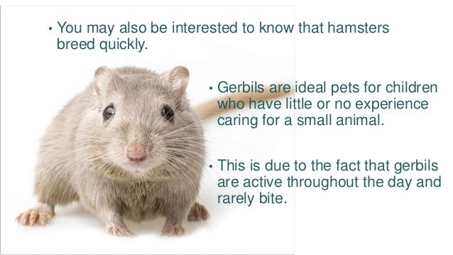 Hamster Or Gerbil – Pros And Cons Of Each