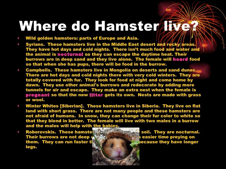 Hamsters by Sara