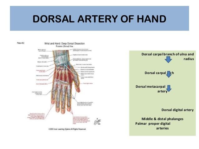 Dorsal hand anatomy