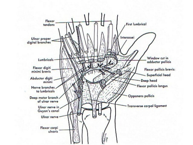 Anatomy of hand and fingers