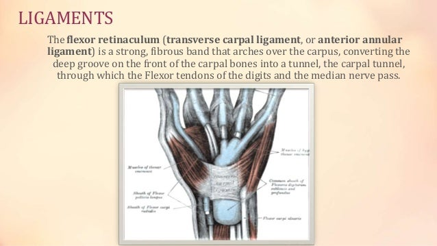 Structures of the Hand PPT