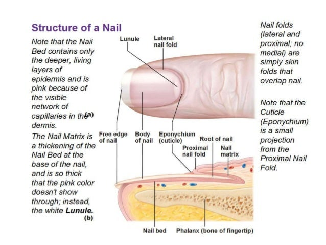Finger anatomy diagram