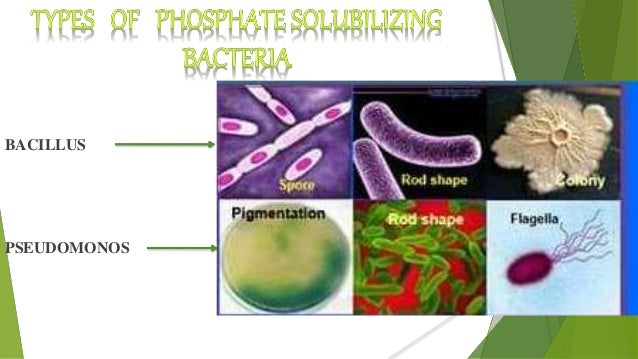 thesis on phosphate solubilizing bacteria Qureshi et al, j anim plant sci 22(1):2012 204 role of phosphate solubilizing bacteria (p sb) i n enhancing p availability and promoting cotton growth.