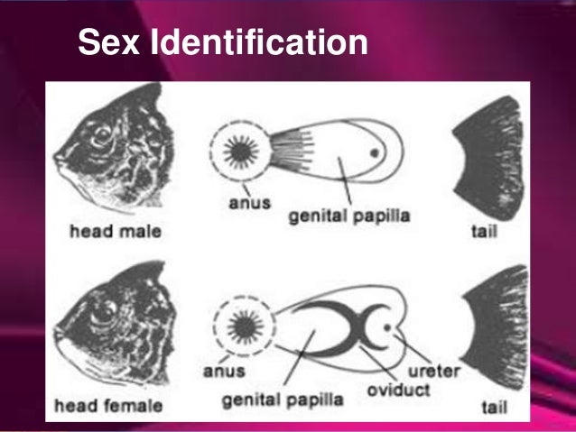 Sex of talipia