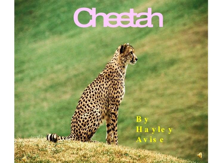 Cheetah By Hayley Avise