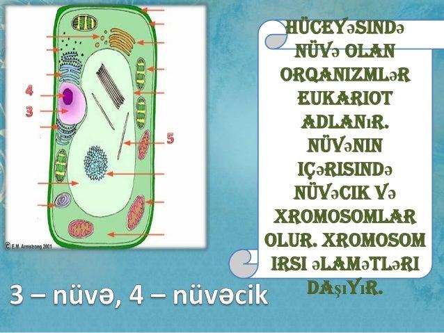 Hüceyəsində nüvə olan orqanizmlər eukariot adlanır. Nüvənin içərisində nüvəcik və xromosomlar olur. Xromosom irsi əlamətlə...