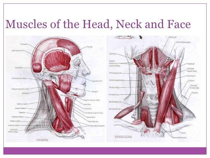 Anatomy Of Head And Neck Muscles Image Collections Human Body Anatomy