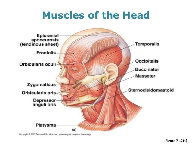 Head and Neck Human Anatomy (Muscles)SlideShare