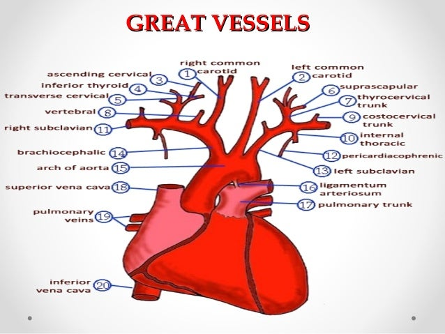 Anatomy Of Great Vessels 8189353 Follow4morefo
