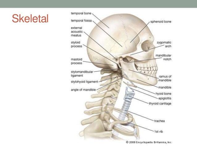 Throat Anatomy Diagram Bones - Block And Schematic Diagrams •