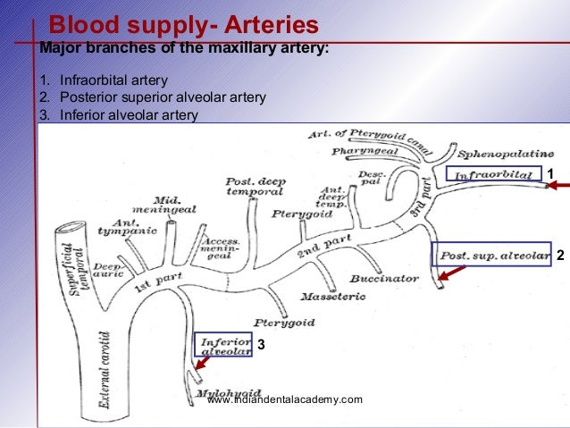 The gallery for --> Maxillary Artery Course