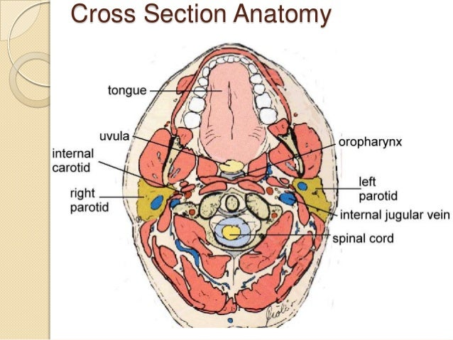Neck Anatomy Cross Section Diagram - Collection Of Wiring Diagram •