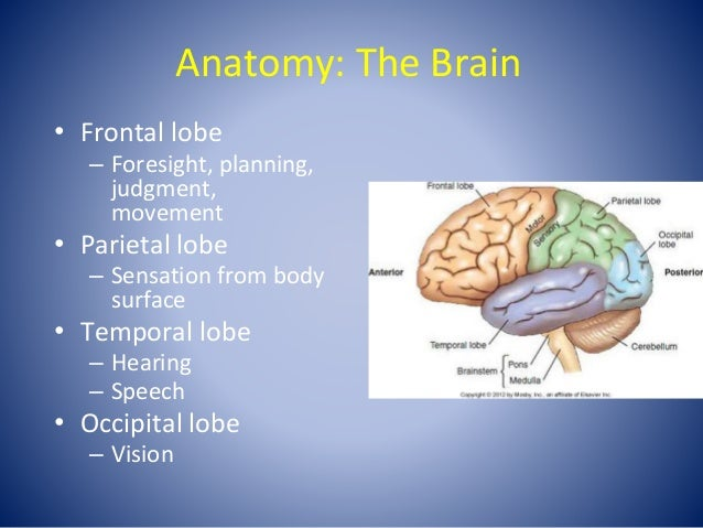Anatomy: The Brain • Frontal lobe – Foresight, planning, judgment, movement • Parietal lobe – Sensation from body surface ...