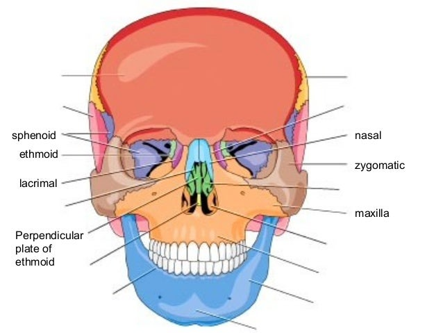 Attractive Sphenoid Ethmoid Adornment - Anatomy And Physiology ...