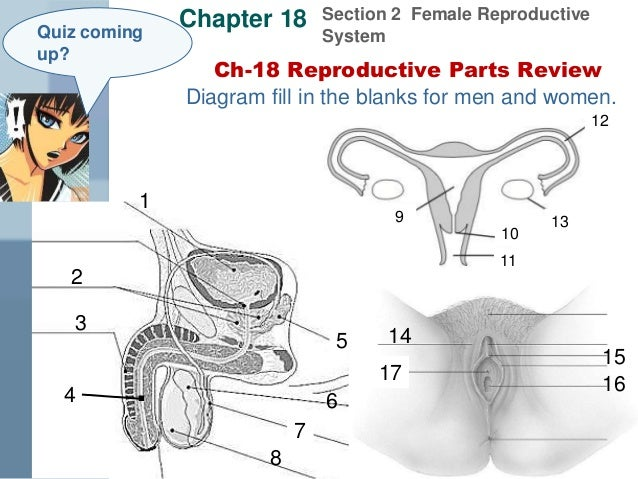 Female Reproductive System Diagram Se 6