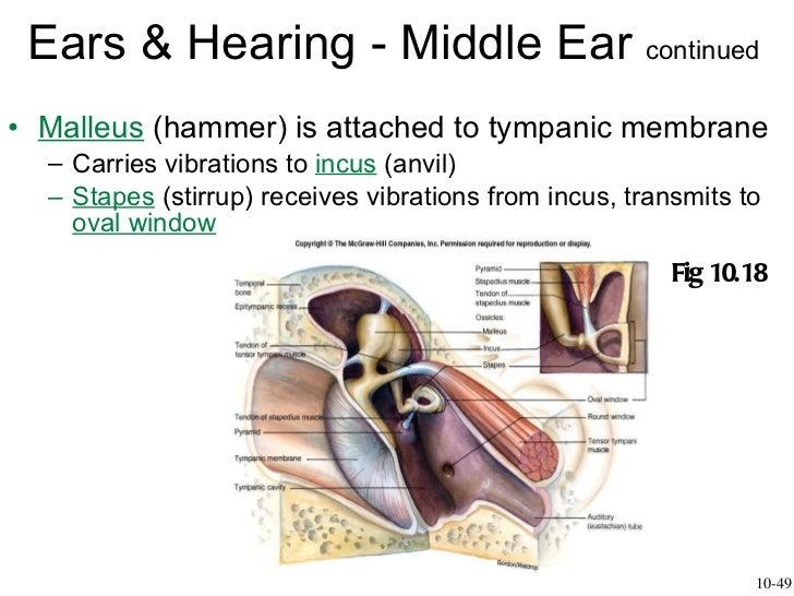 Hearing Slide 3