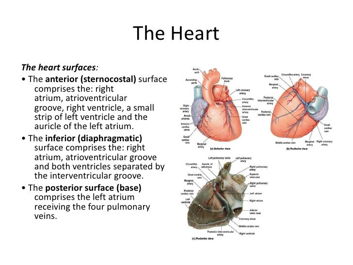 surface anatomy of heart pdf