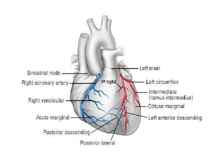 Arteries Heart Anatomy Images - human body anatomy