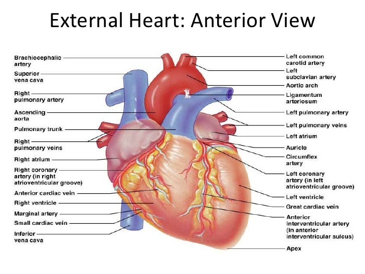 heart-63-728.jpg?cb=1266615422