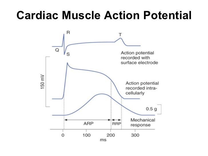 Heart cardiac muscle action potential 11 ccuart Image collections