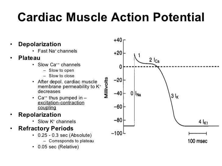 Heart cardiac muscle action potential ccuart Image collections