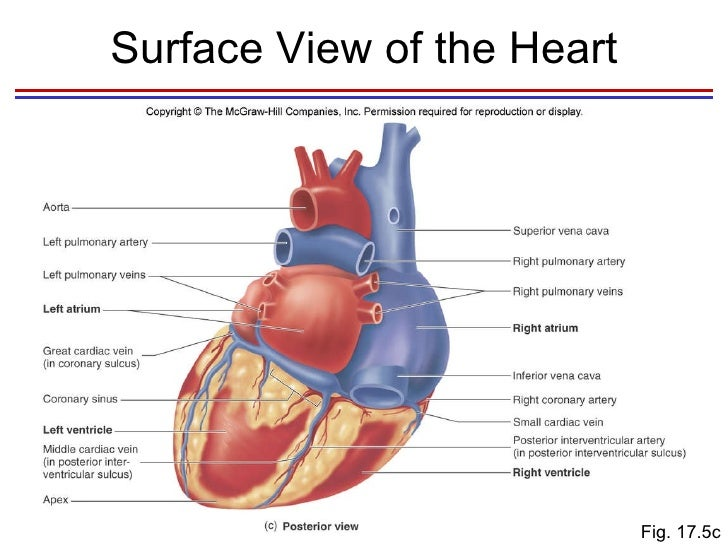 Heart diagram posterior view mcgraw hill diy enthusiasts wiring heart rh slideshare net ventral sheep heart heart diagram labeled ccuart Images